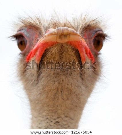 ostrich young with a long neck watching intently large beautiful eyes with bright, strong beak and gray feathers on a white background - stock photo