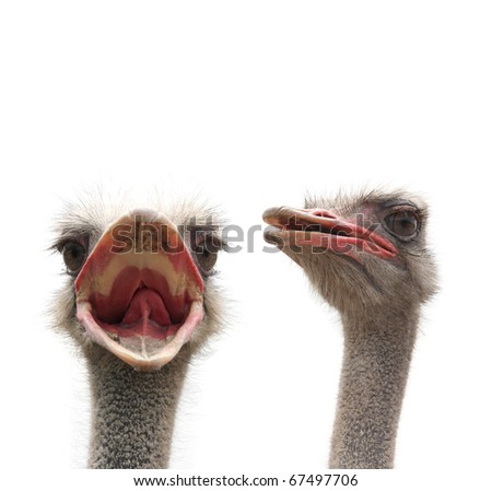 ostriches - stock photo