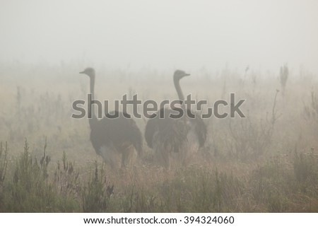 ostriches in the fog gondwana game reserve south africa