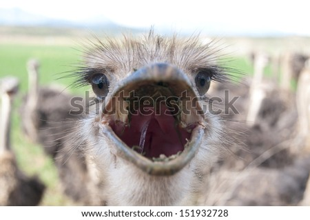 Ostriches in the Klein Karoo � South Africa - stock photo