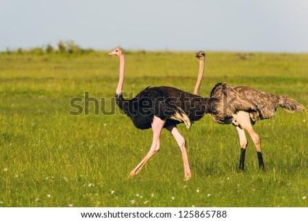 Ostriches in the masai marai National Park, kenya - stock photo