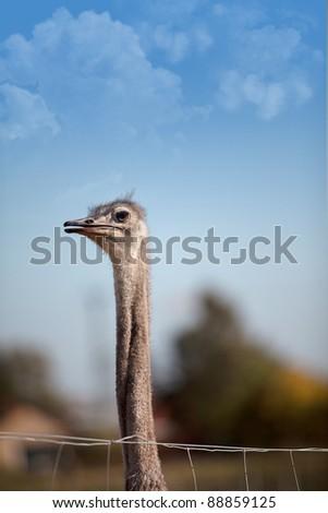 Ostriches on German bird farm in Autumn - stock photo
