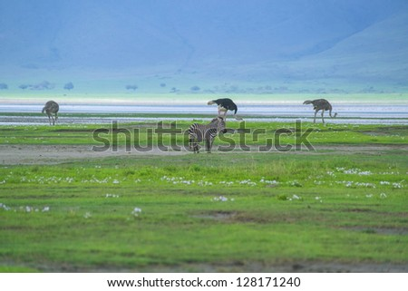 Ostriches search for food in Ngorongoro crater - stock photo