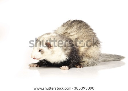 Other paterns color ferret female on white background