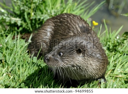 Otter - stock photo