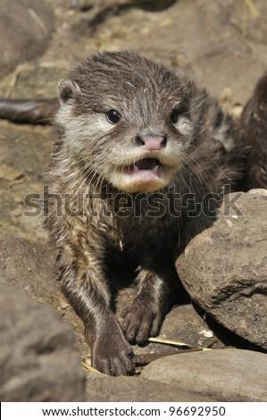otter baby - stock photo
