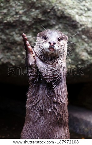 Otter clapping hands - stock photo
