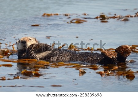 Otter Floating on Back Arms Crossed. Morro Bay, CA - stock photo