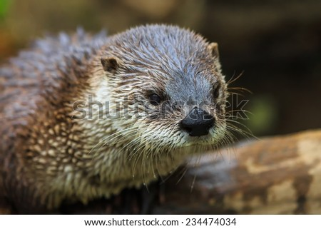 otter in detail - stock photo