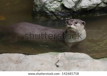 Otter in water - stock photo