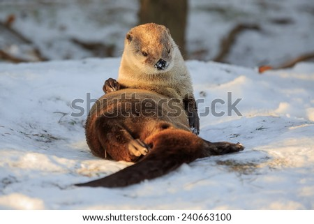 otter is resting on the snow - stock photo