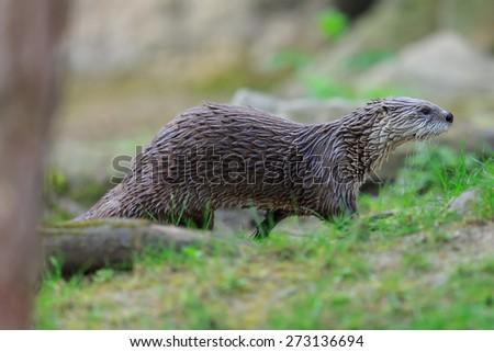 otter is running - stock photo
