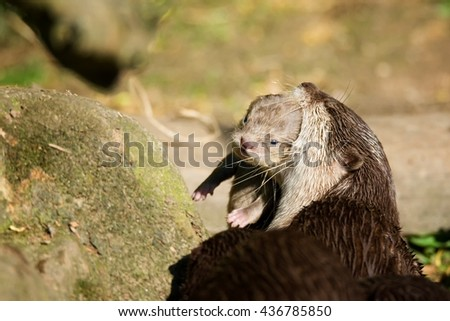 Otter (Lutra Lutra) carries her young in her mouth