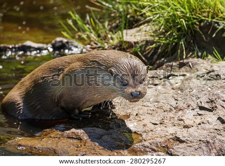 otter - Lutra lutra in water