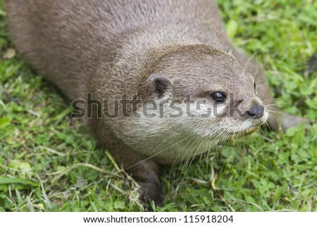 Otter (Lutra lutra) playing on the grass