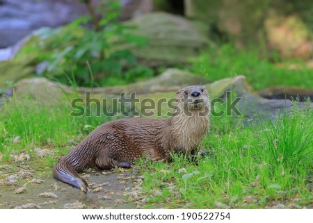 otter portrait - stock photo