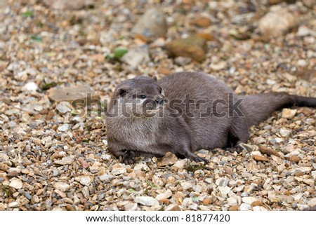 Otter relaxing on a stone beach