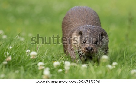 Otter running on grass. Lutrinae
