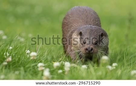Otter running on grass. Lutrinae - stock photo