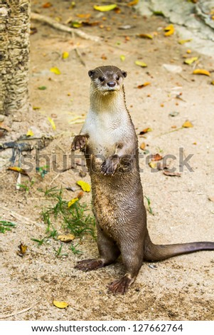Otter standing in nightsafari chiangmai Thailand - stock photo