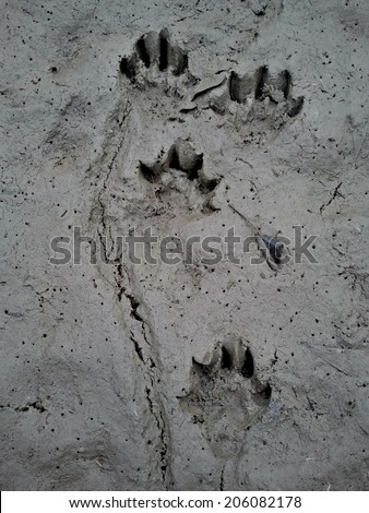 Otter tracks in mud - stock photo