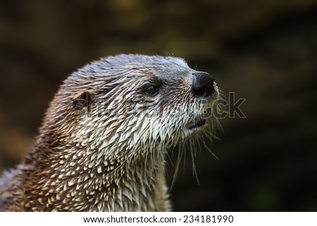 otter very close up - stock photo