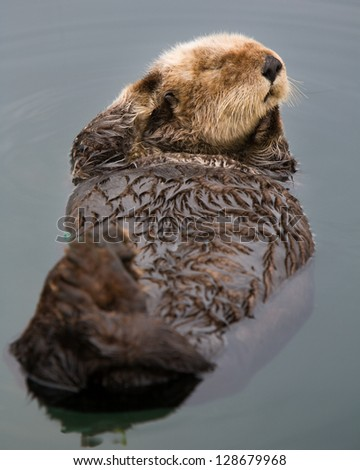 Otter with personality posing in Morro Bay Harbor, California - stock photo
