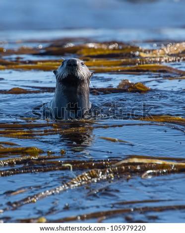 Otters, Shumshu Island - stock photo