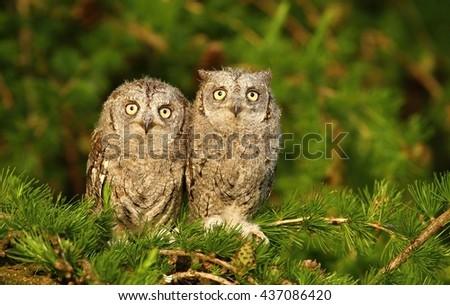 Otus scops owl siblings - stock photo