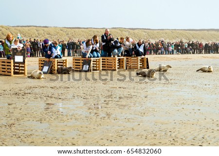 OUDDORP, NETHERLANDS- MAY 22, 2017:  Seals are released on the beach  after take care in a nursery.