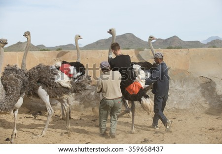 OUDTSHOORN OSTRICH FARM SOUTH AFRICA - CIRCA 2014 - A young man riding an Ostrich with the help of a ranger on a ostrich farm visitor centre in Oudtshoorn in the Western Cape region of South Africa