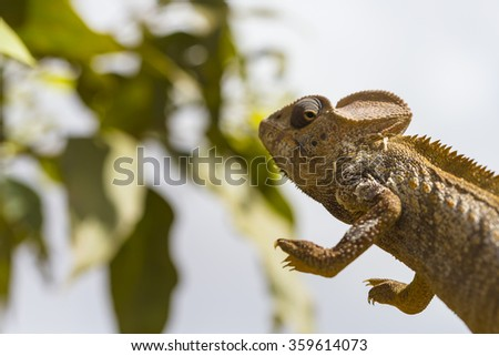 Oustalet's brown Chameleon jumping in Madagascar