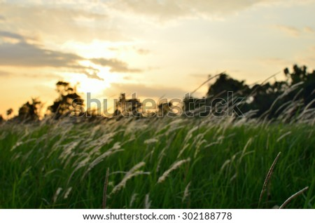 Out focus of grass flower in the field during sunset - stock photo