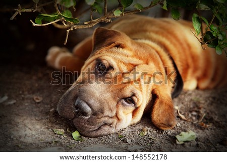 Out of the sun, a Shar pei tries to rest in the shade of a hedge. Retro style processing. - stock photo