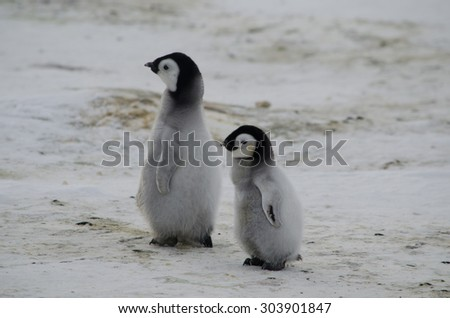 out with big brother penguin chicks