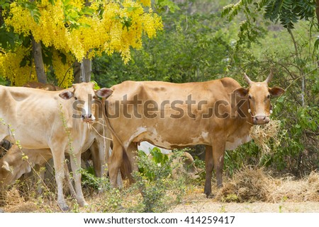 outdoor cow