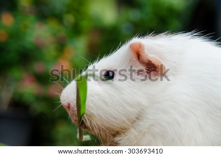outdoor cute guinea pig white color hold grass in the mouth.