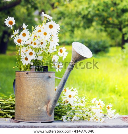 Outdoor daisy flowers/ Spring  beautiful garden background - stock photo