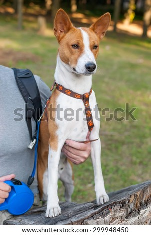 Outdoor full body portrait of Basenji dog sitting on a stump