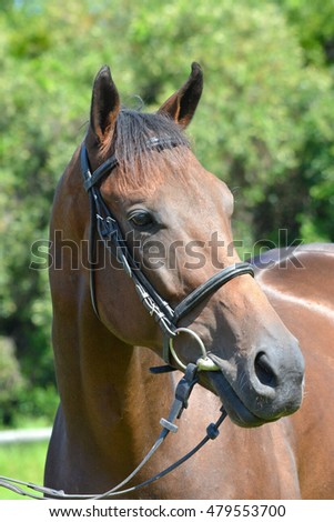 Outdoor head portrait of a South African thoroughbred bay race horse with alert facial expression.