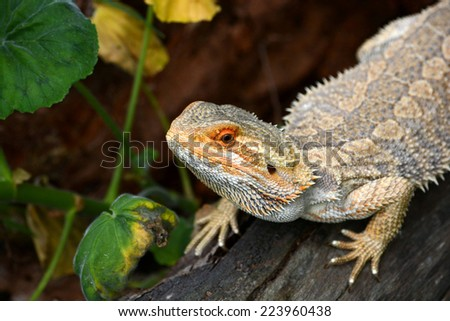 Outdoor head portrait of an Australian Bearded Dragon with attentive facial expression laying on a tree trunk and staring in front of blurry background. - stock photo