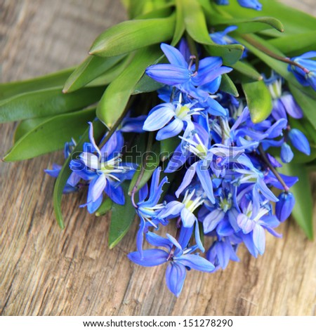 Outdoor image of early spring Blue Scilla (Squill) over wooden background/Flowerbed of beautiful blooming hyacinths in spring - stock photo