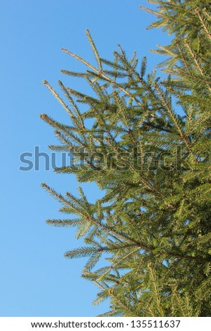 outdoor image of green thuya tree over natural blue sky background