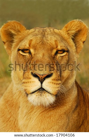 Outdoor portrait of a beautiful African Lioness staring - stock photo