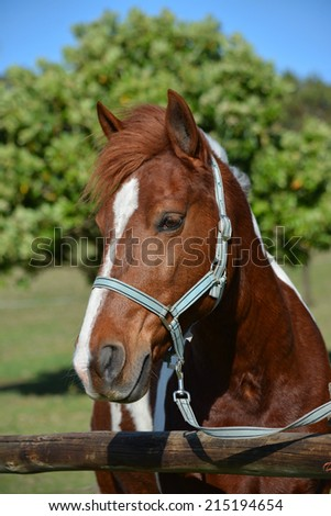 Outdoor portrait of a scewbald pony with harness in front of blurry green background. - stock photo