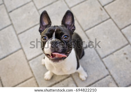 Outdoor portrait of a young Boston Terrier on a sunny summer day