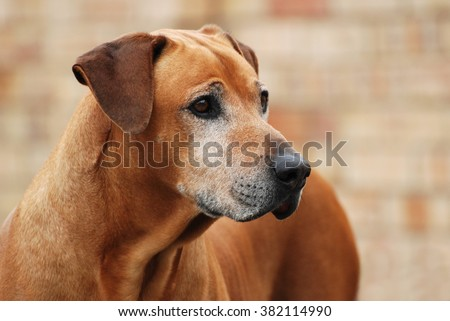 Outdoor portrait of an old purebred Rhodesian Ridgeback male dog with alert facial expression in front of blurry background. - stock photo