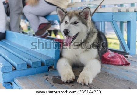 Outdoor portrait of gorgeous young Alaskan Malamute - stock photo