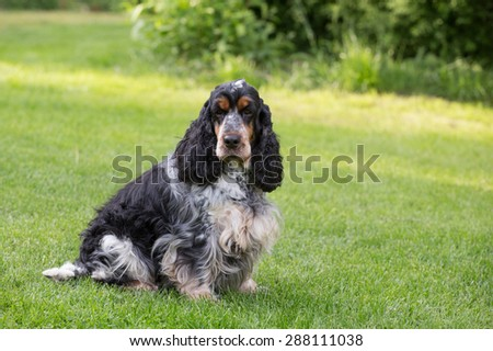 outdoor portrait of sitting english cocker spaniel, european champion, breeding station
