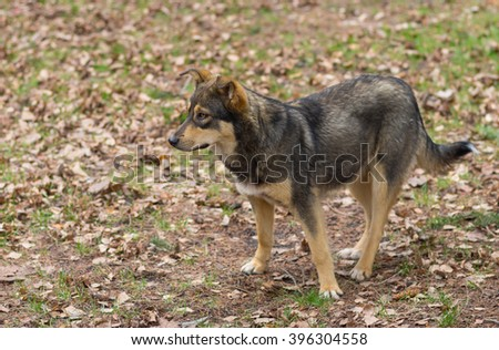 Outdoor portrait of stray female of wolfcolor dog at spring season waiting for cute male - stock photo